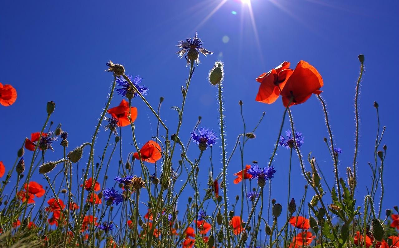 field of poppies - Stanice Pavlov